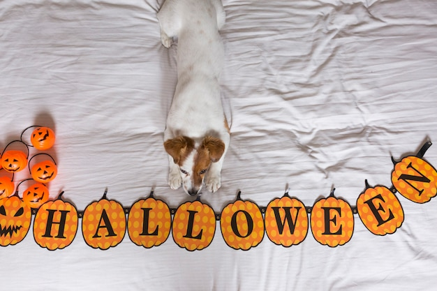 Cute young little dog lying on bed next to a halloween wreath. view from above