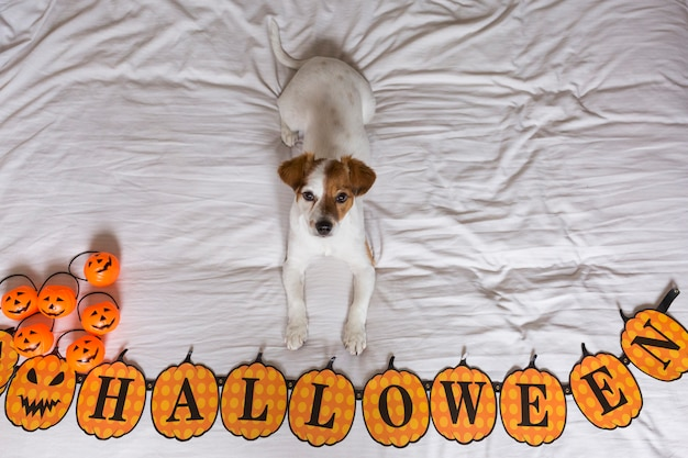 Cute young little dog lying on bed next to a halloween wreath.white background. view from above
