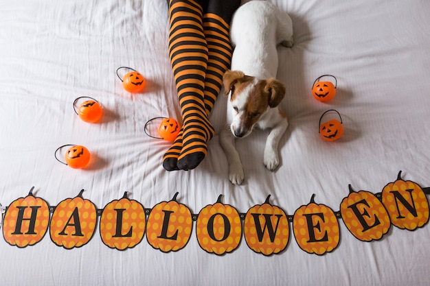 Cute young little dog lying on bed next to his owners legs wearing a black and orange socks. halloween concept. view from above