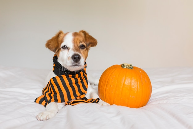 Cute young little dog posing on bed wearing an orange and black scarf and lying next to a pumpkin. halloween concept