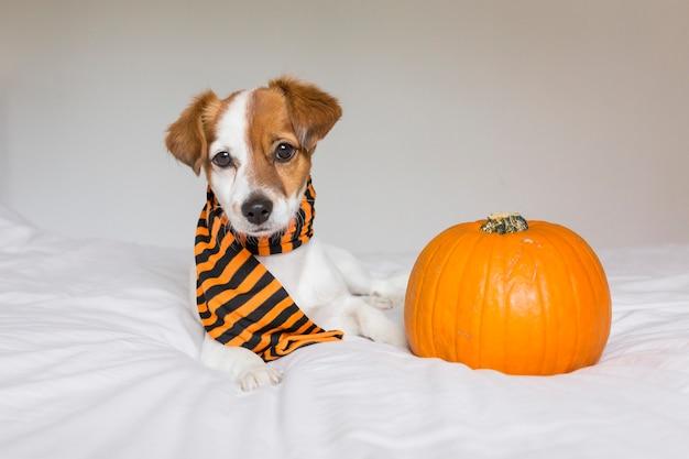 オレンジと黒のスカーフを着て、カボチャの横にあるベッドでポーズかわいい若い小さな犬。ハロウィーンのコンセプト。白色の背景