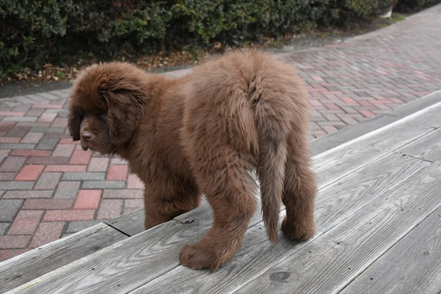 Cute young newfoundland puppy dog climbing down stairs