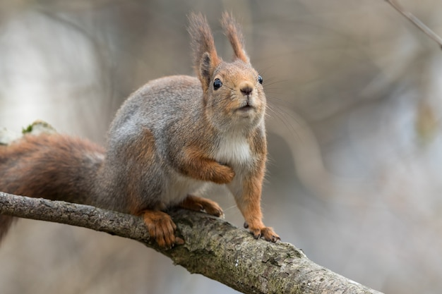 Cute young red squirrel sitting on tree branch, looking up