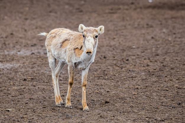 Cute young saiga antelope or saiga tatarica during molting