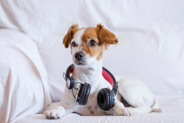 Cute young small dog listening sitting on the sofa with headphones.