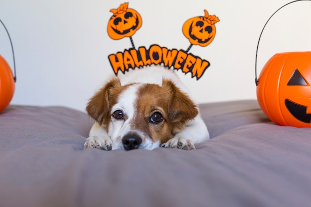 Cute young small dog lying on bed with a halloween costume and decoration. pets indoors.