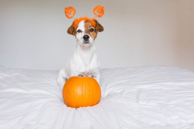 Cute young small dog lying on bed with a halloween costume and decoration and next to a pumpkin. pets indoors.