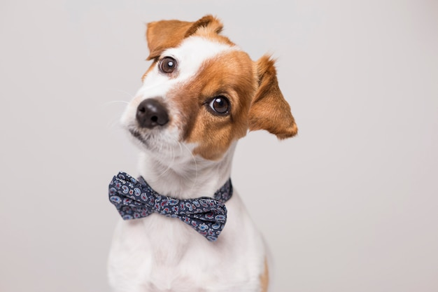 Милая молодая маленькая белая собака нося современную бабочку.