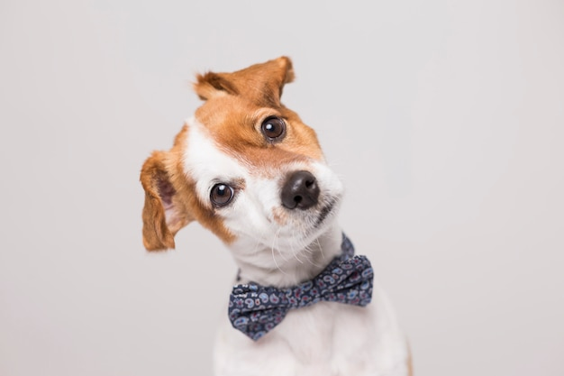 Cute young small white dog wearing a modern bowtie.