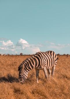 Милая зебра гуляет по прерии и ест траву в солнечный день дикая лошадь в заповеднике
