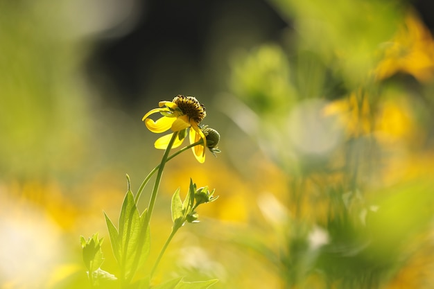 オオハンゴンソウ-庭のrudbeckialaciniata