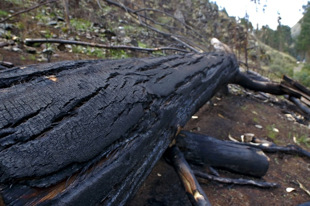 Cutting and burning of eucalyptus trees cut and thrown on the road