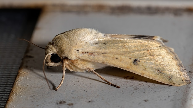 Cutworm moth of the genus helicoverpa