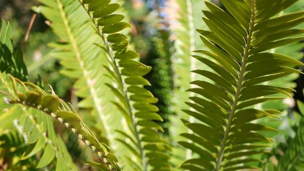 캘리포니아 숲에 소철 고사리 잎. encephalartos 또는 zamiaceae dioon. 열대 정글 열대 우림
