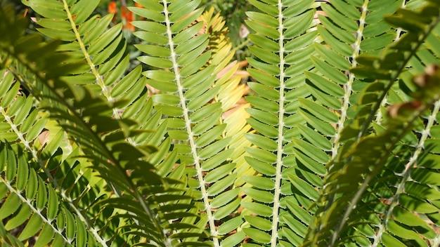 소철 고사리 숲, 캘리포니아 미국에 나뭇잎. encephalartos 또는 zamiaceae dioon. 정글 열대 우림