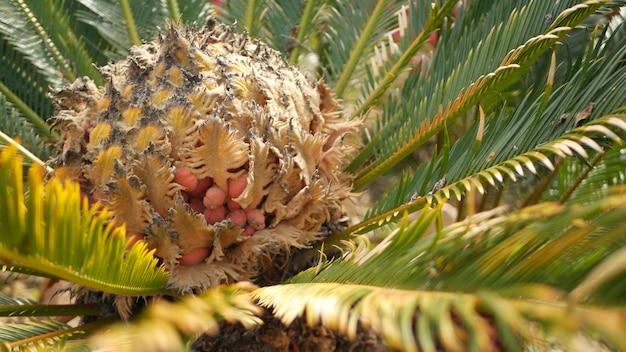 소철 고사리 숲, 캘리포니아 미국에 나뭇잎. 녹색의 신선하고 육즙이 많은 천연 식물 잎. encephalartos 또는 zamiaceae dioon 야자수 무성한 단풍. 열대 정글 열대 우림 분위기 정원 디자인