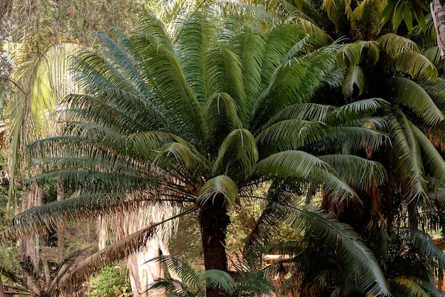 Cycad plant tree of the order cycadales