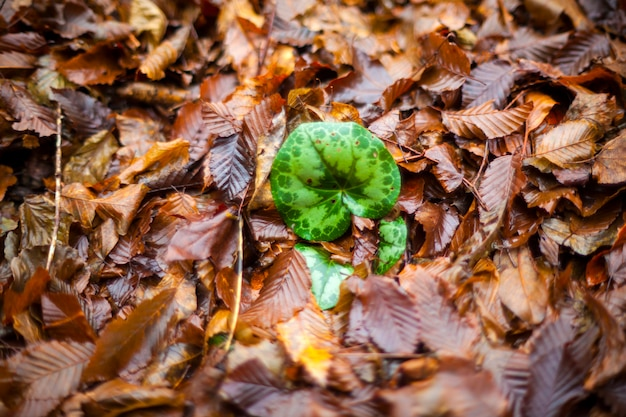 Cyclamen leaf in the middle of dried leaves