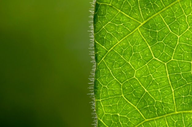 Cyclea barbata myers or cincau leaf hair, in shallow focus with blurred background