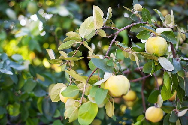 Концепция сбора урожая. айва cydonia oblonga. спелые плоды айвы на дереве. айва крупным планом. органические естественные яблоки айвы на дереве на осень. витамины, вегетарианство, фрукты. выращивание органических фруктов на ферме