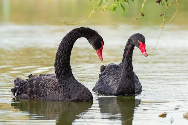 Два черных лебедя плавают в озере. cygnus atratus
