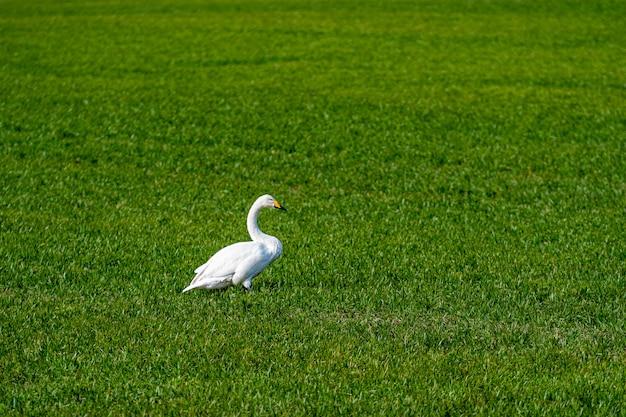Лебедь-кликун (cygnus cygnus), лебедь-кликун, питающийся и отдыхающий на зеленом лугу