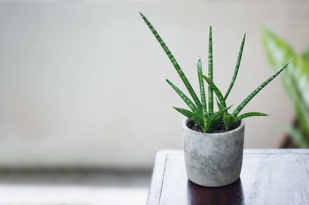 Cylindrical snake plant at pot