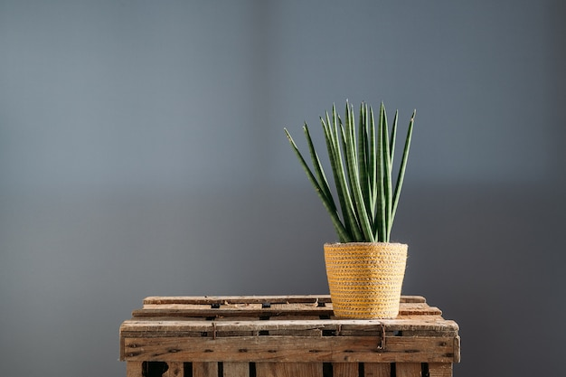 Cylindrical snake plant (sansevieria cylindrica) plant house