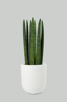 Cylindrical snake plant in a white pot
