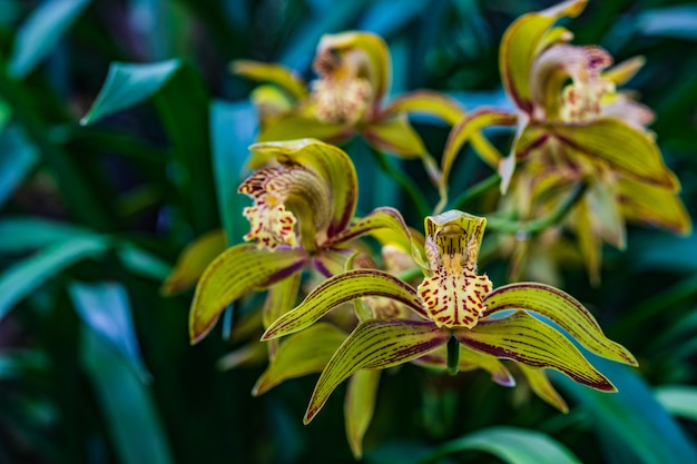 Cymbidium tracyanum, beautiful wild orchid in tropical forest.