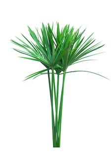 傘の植物、パピルス、cyperus alternifolius。孤立した