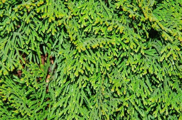 Ветка кипариса, цветочная текстура туи, узор или фон