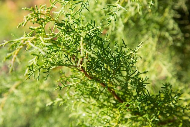 ヒノキlusitanica、枝のクローズアップ。自然な緑の背景。常緑の南の木、テクスチャ
