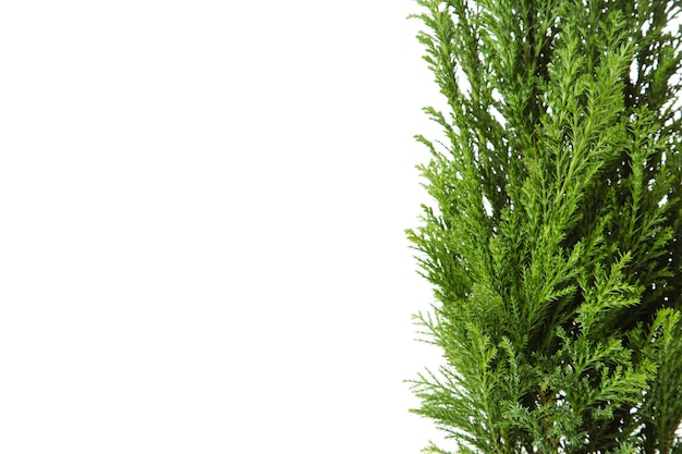 Cypress in pot isolated on white wall. coniferous trees