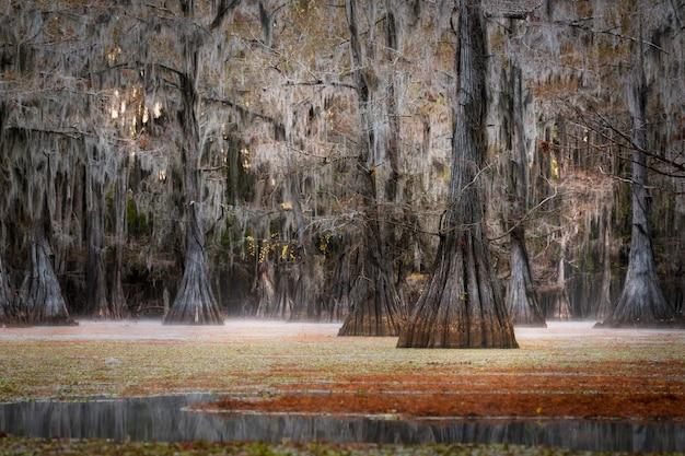 Cypress tree, caddo lake, texas