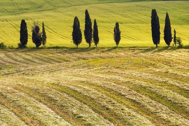 전형적인 투스카니 시골의 사이프러스 나무 들판과 초원 들판의 질감 이탈리아
