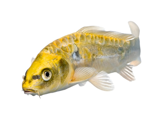 Желтый кои огон - cyprinus carpio на белом изолированные