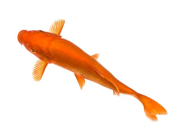 Оранжевый кои - cyprinus carpio на белом изолированные