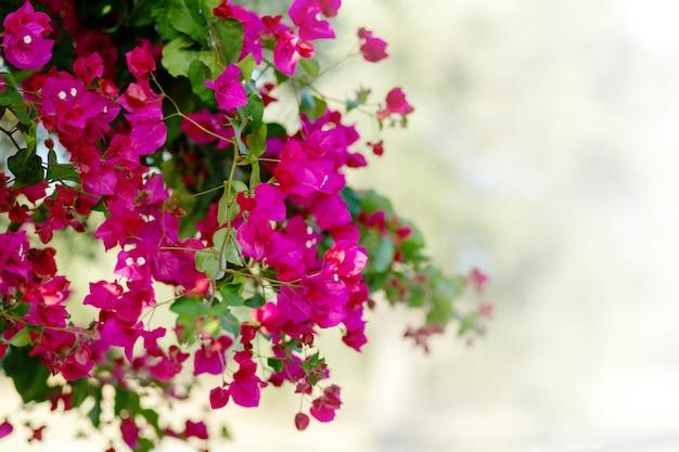 白い背景の上のキプロスピンクのブーゲンビリアの茂み