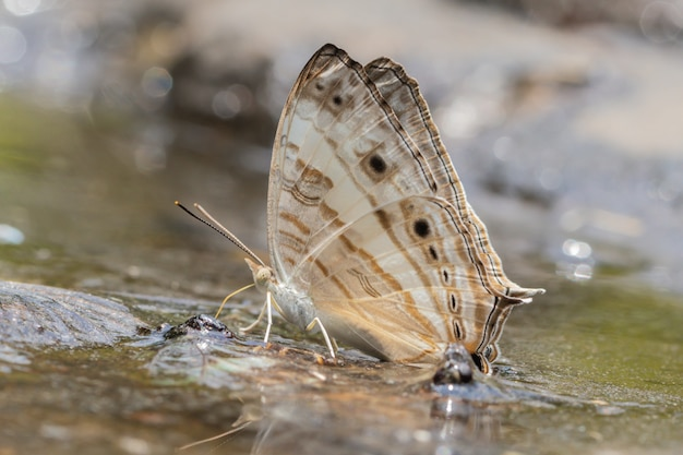 Cyrestis cocles (marbled map) butterfly in nature