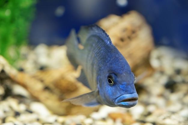 Маленькая африканская рыба cyrtocara moorii