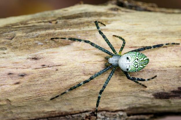 木材上のcyrtophora moluccensisスパイダー(男性)(doleschall、1857.、tent spider)の画像。昆虫動物