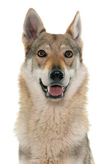 Чехословацкая волчья собака на белом фоне