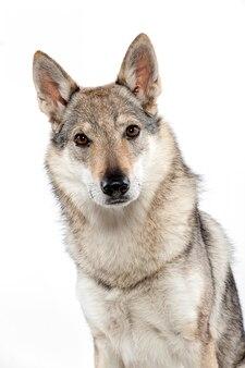 Czechoslovakian wolfdog sitting staring