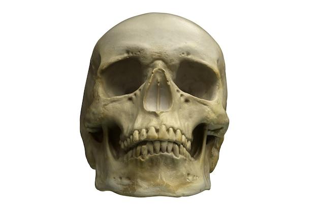 흰색에 고립 된 인간의 두개골의 d 렌더링