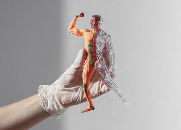 D модель человеческого тела без кожи с анатомической медицинской концепцией кровообращения и мышечной системы