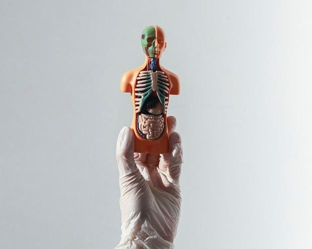 D модель человека без кожи с внутренними органами внутри концепции здравоохранения и медицинского страхования