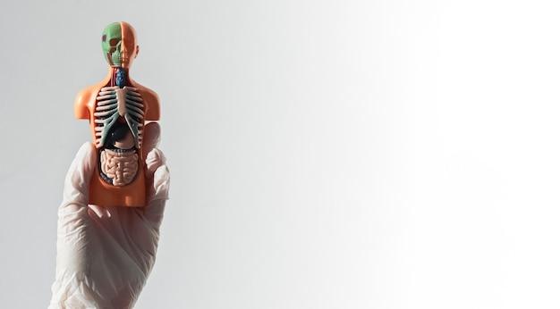 Модель человека без кожи с внутренними органами на белом сером фоне с копией пространства