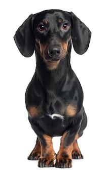 Dachshund, 1 year old, standing