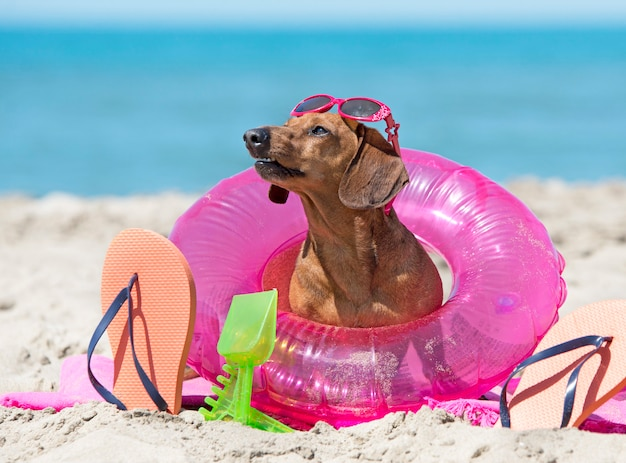 Dachshund on the beach